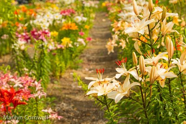 Lilycrest Gardens 2017