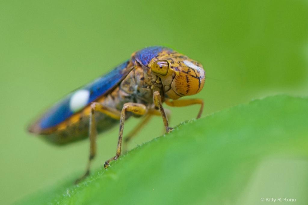 The Smiling Sharpshooter  Leaf Hopper