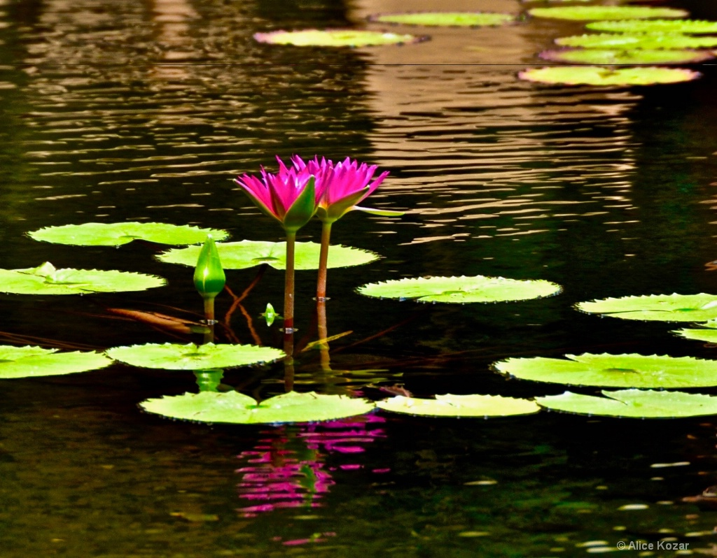 Pink Water Lily Duet