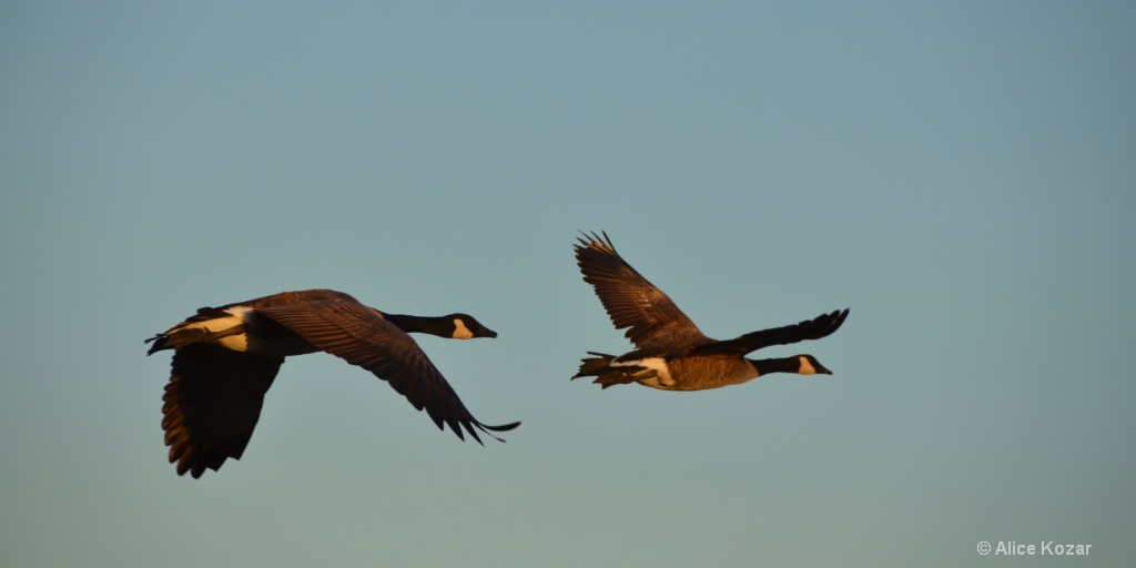 Canadian Geese Paired in Flight