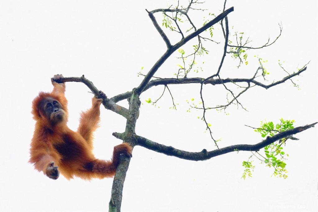 Animal Series - Orangutan