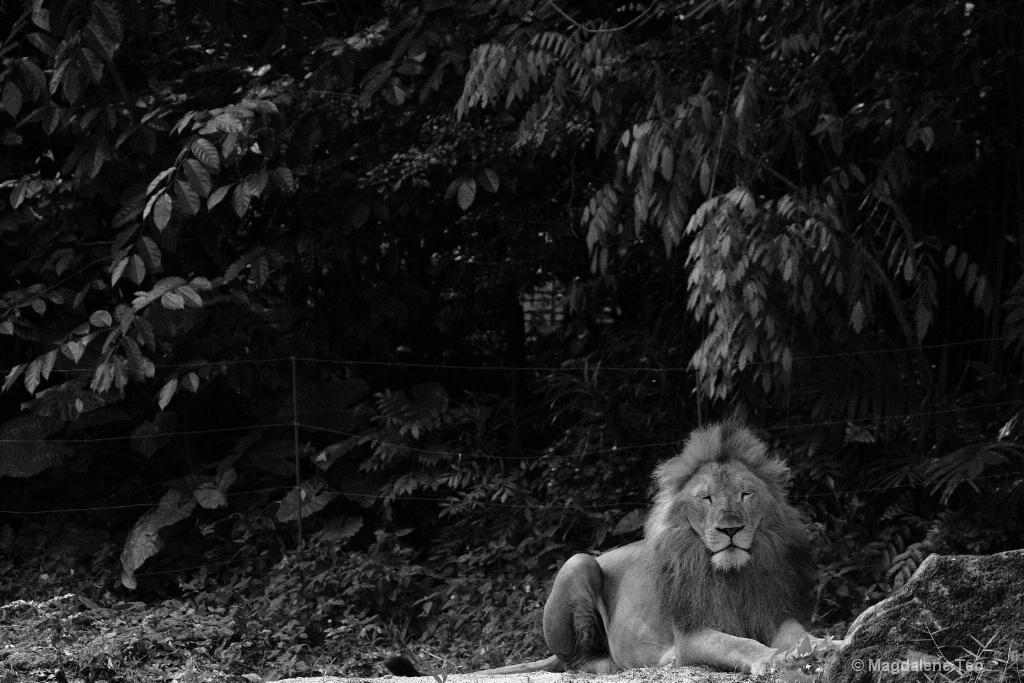Animal Series - African Lion