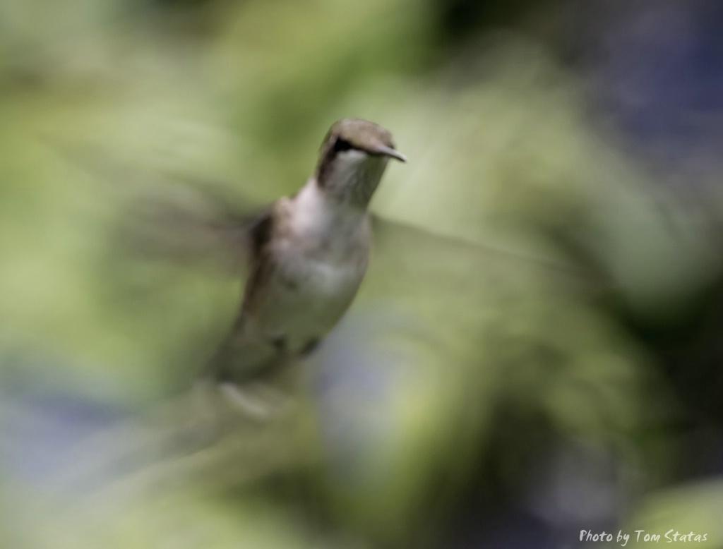 Hummingbirds 2017-08-13  2 of 7