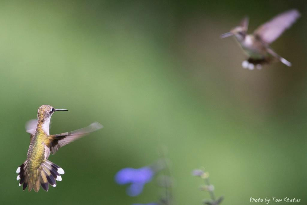 Hummingbirds 2017-08-13  4 of 7