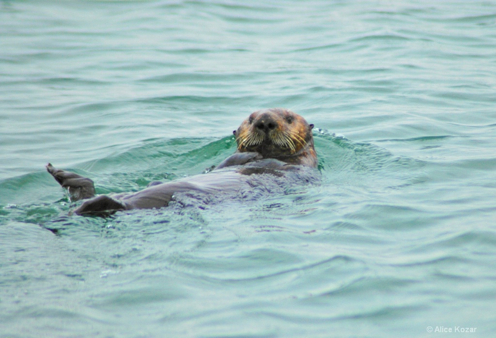Sea Otter Cruising