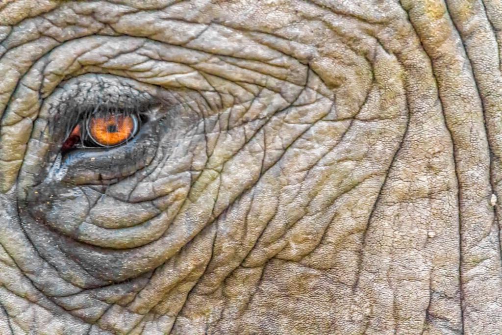 Elephant Eye  9721