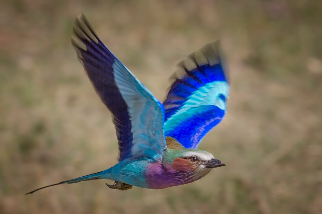 Lilac Breasted Roller Flying 0272
