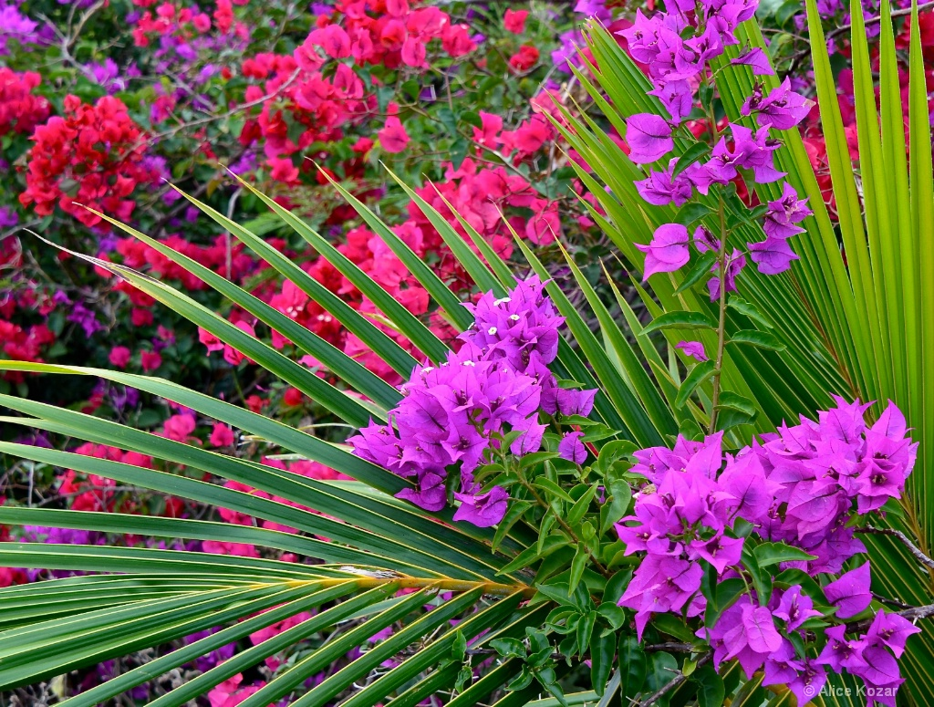 Palms and Bougainvillea