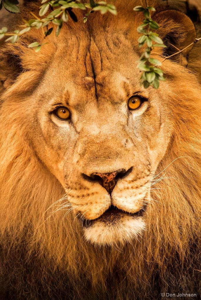 Lion Stare 9-16-17 564