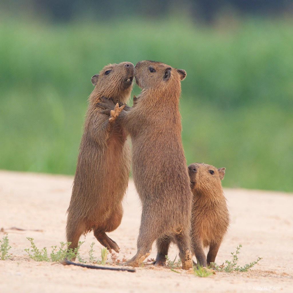 Baby Capybaras doing the Choke Hold
