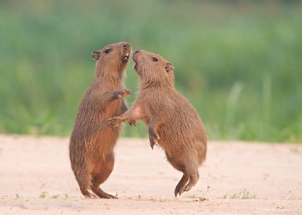Dancing Baby Capybaras