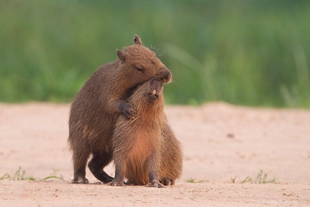 Loving Baby Capybaras