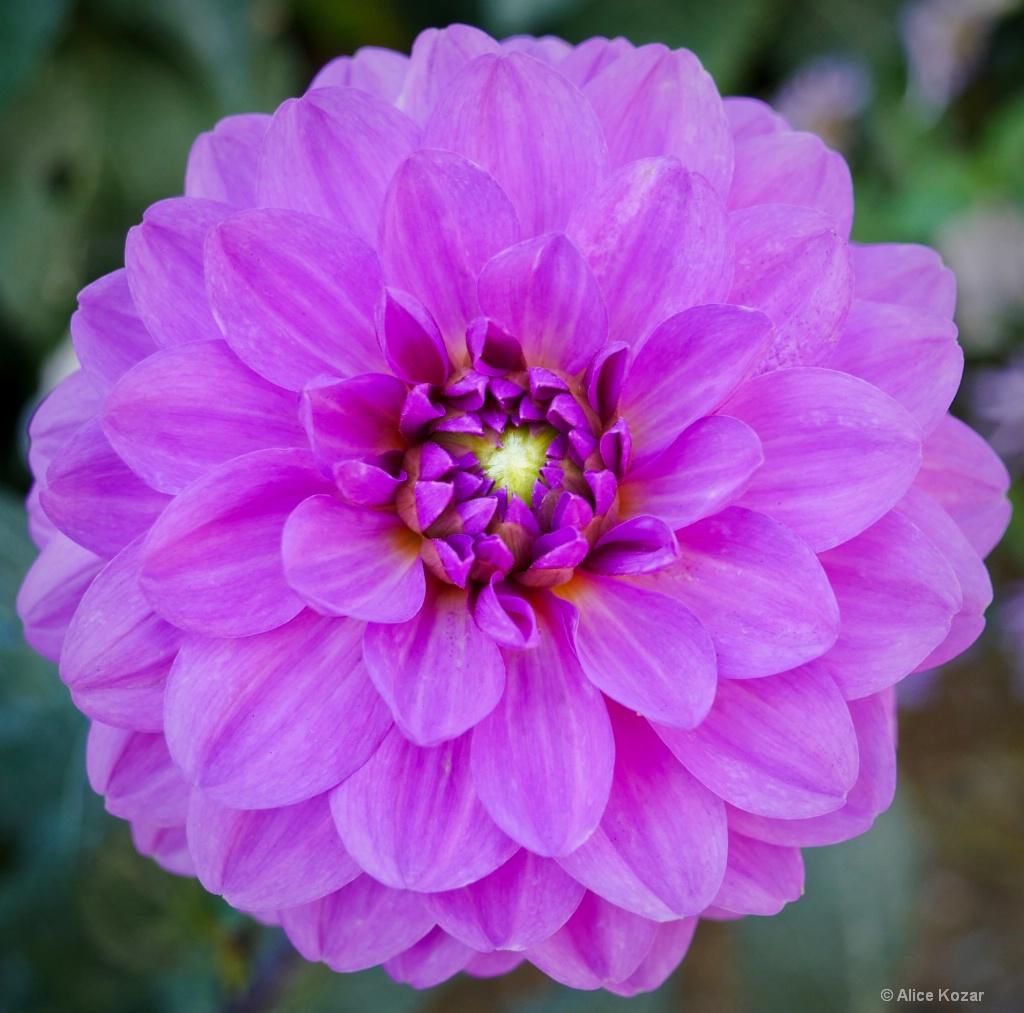 Pink Dahlia Delight