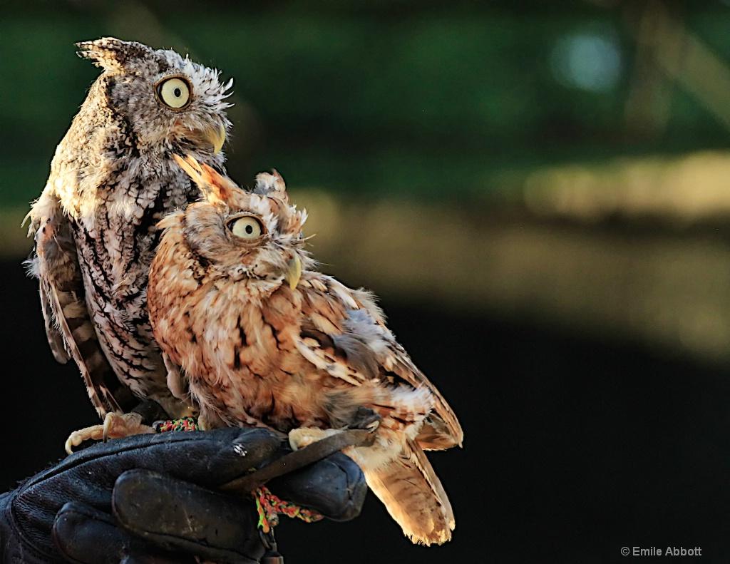 PAIR OF SCREECH OWLS