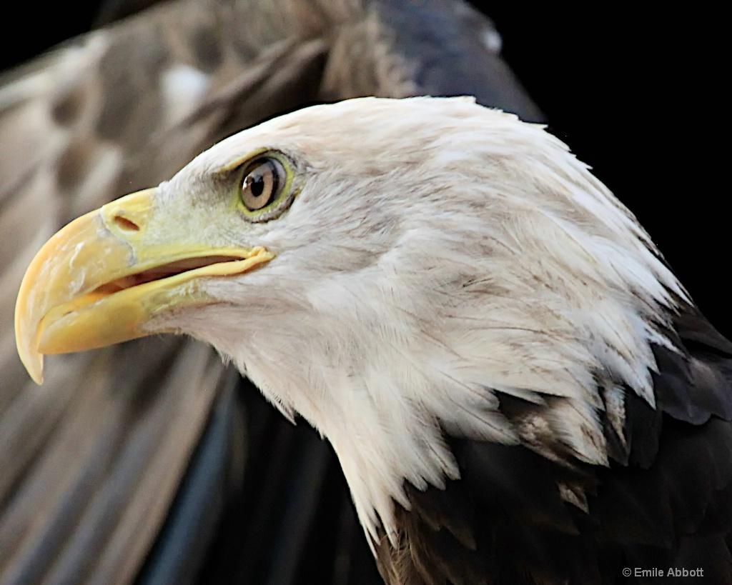 Close-up Bald Eagle