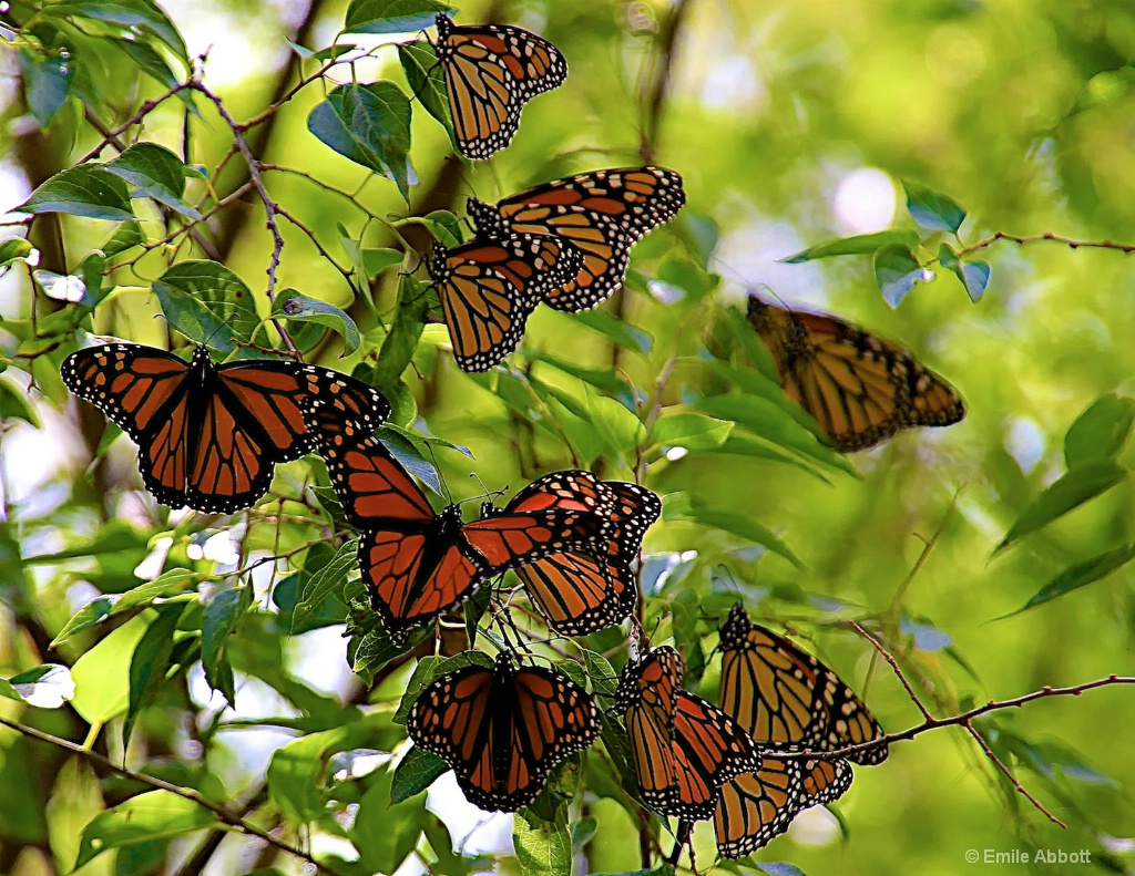 Thinking of Monarchs