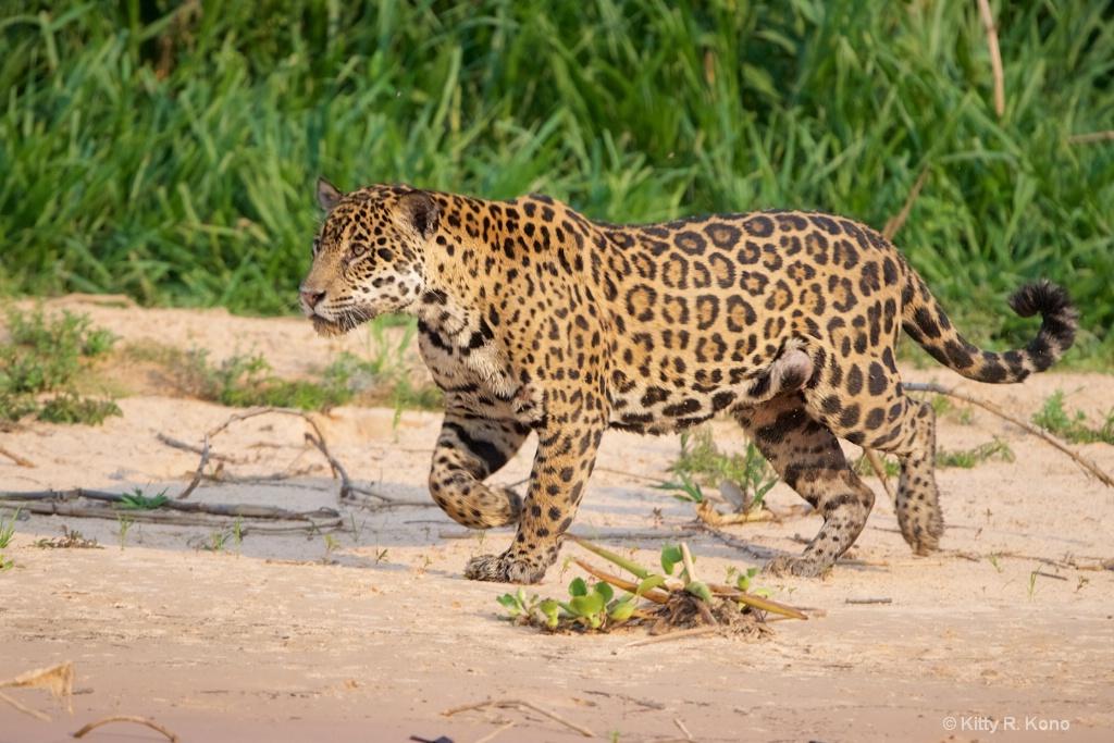Jaguar Jenny Running on the Beach