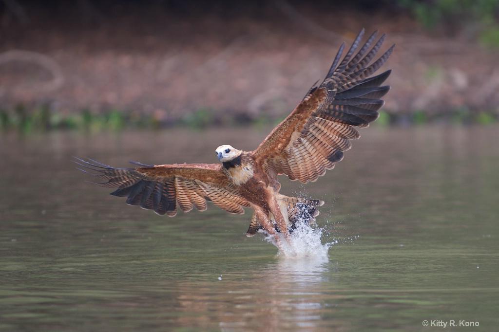 Black Necked Hawk Grabbing Fiah