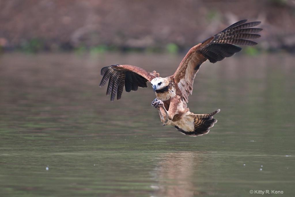 Black Necked Hawk Approaching Water