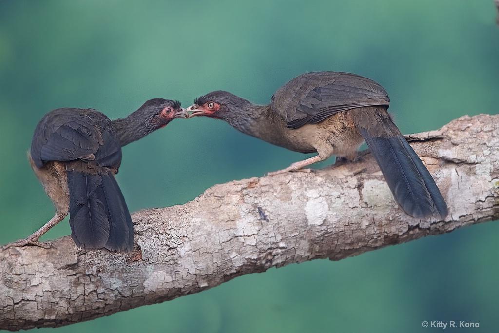 Kissing Chachalacas