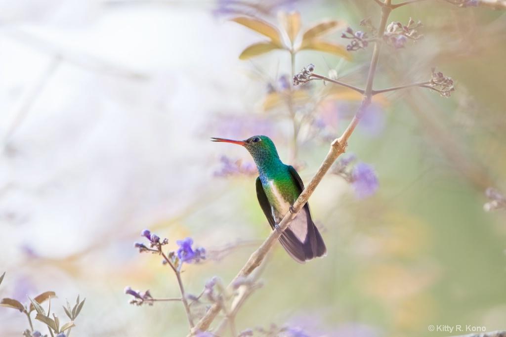 Glittering Bellied Emerald Hummingbird