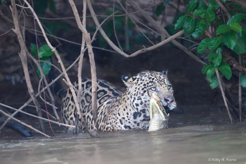 Jaguar Grabs a Caiman