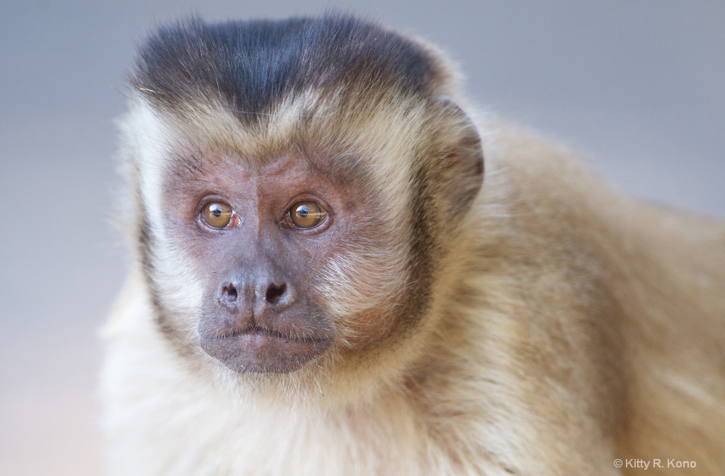Portrait of a Capuchin Monkey