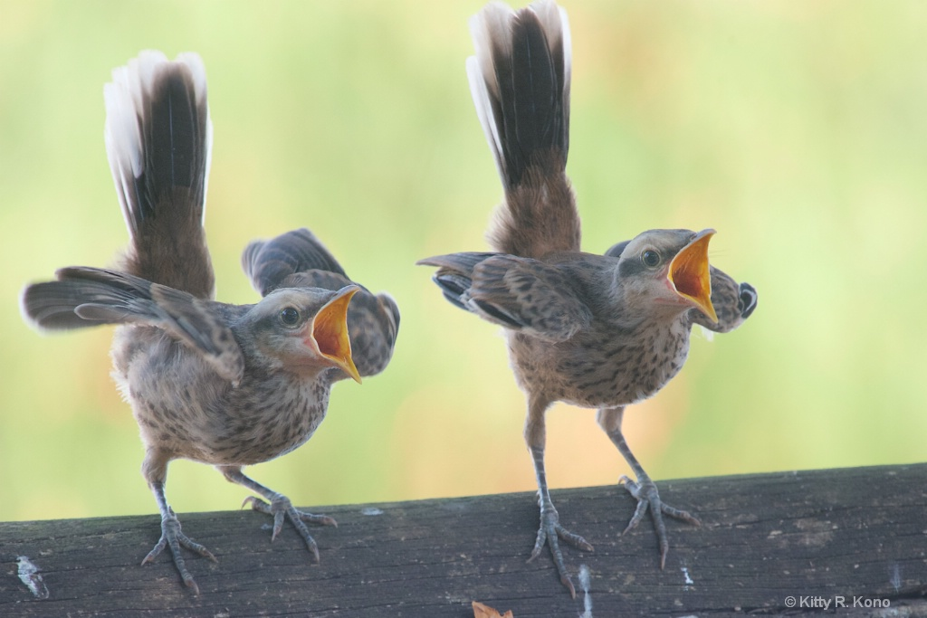 Baby Mockingbirds are Here in Brazil too