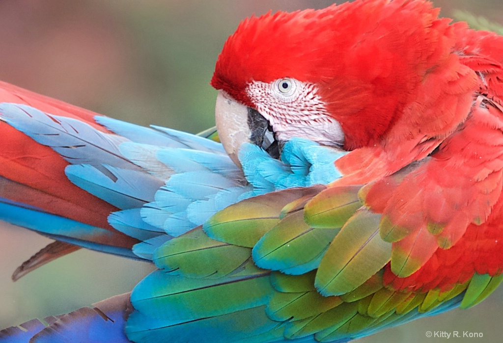 The Beautiful Red and Green Macaw