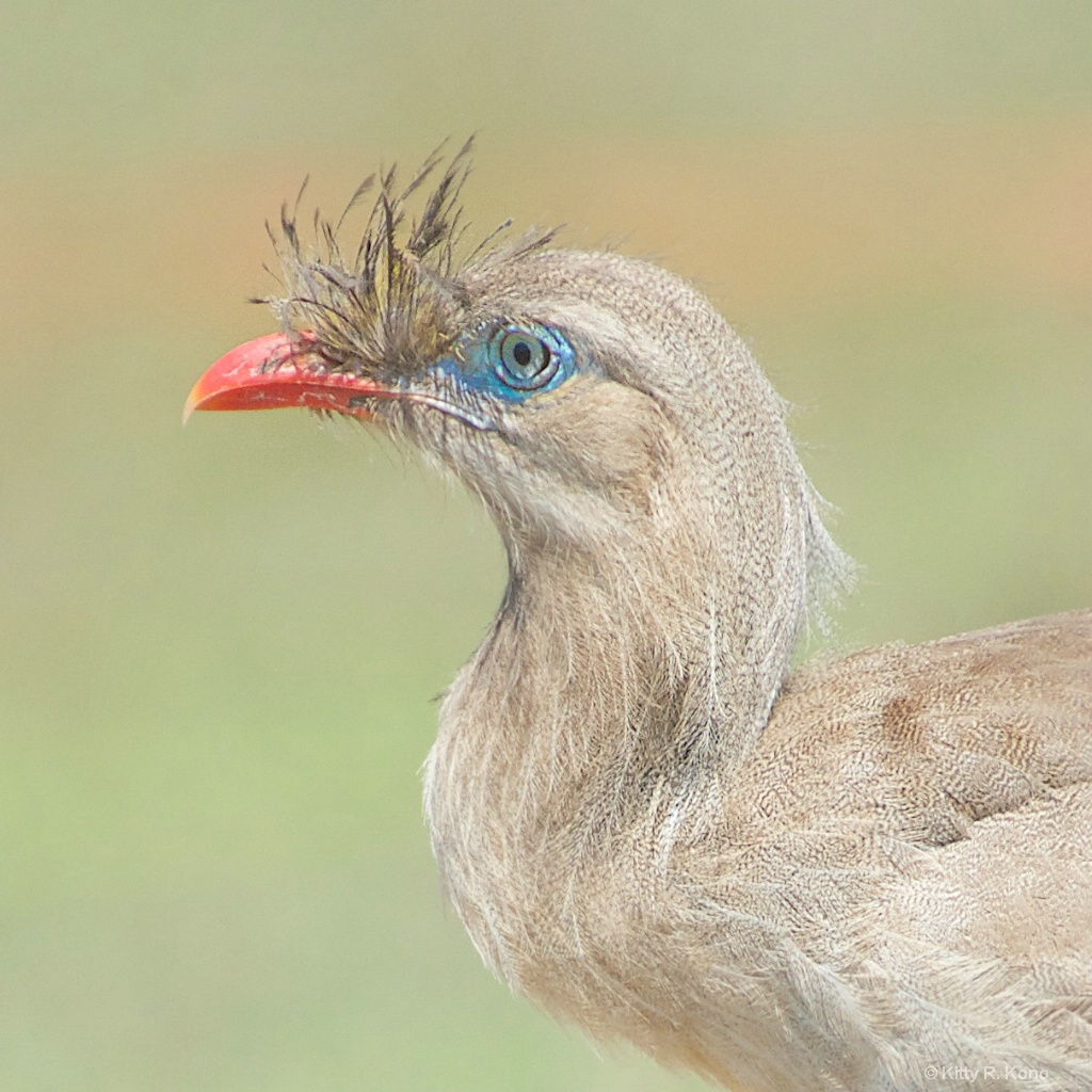 Face of the Red Legged Seriema