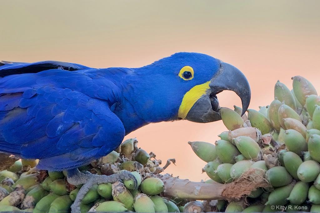 Hyacinth Macaw Grabbing a Palm Nut