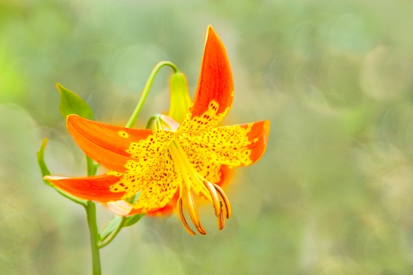 Fusion Lily in the Field