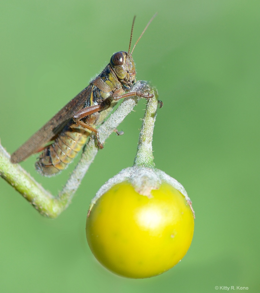 The Grasshopper and the Berry