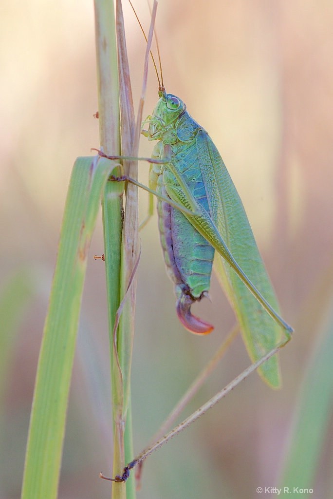 Female Katydid in all Her Glory in Valley Forge