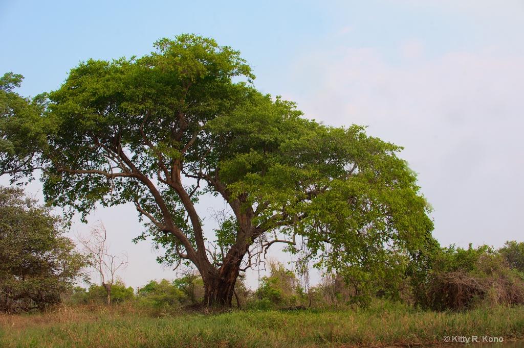 Tree in the Pantanal