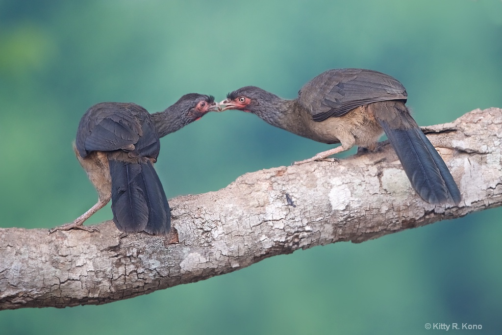Kissing Chacalacas