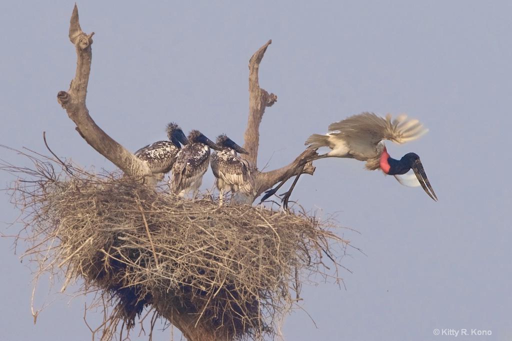 Dad Leaving the Nest -Jabiru Storks