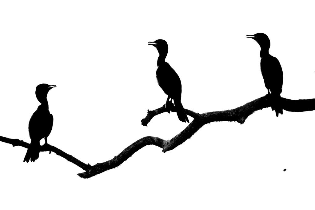 Three Cormorants in Silhouette