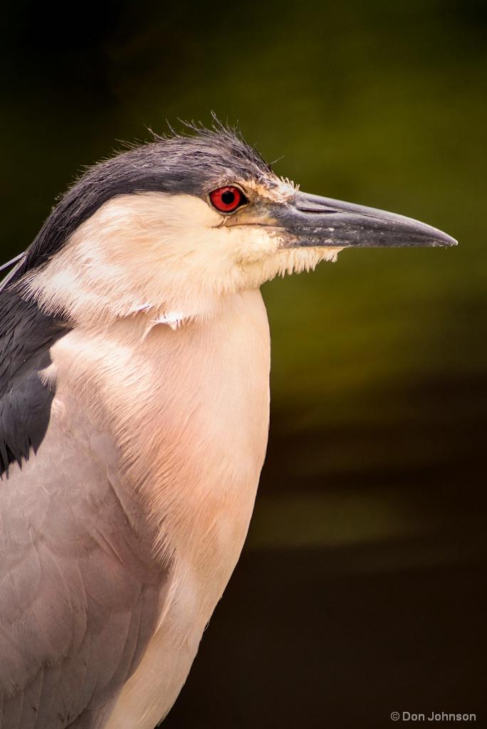 Black Crowned Night Heron 6-8-17 333