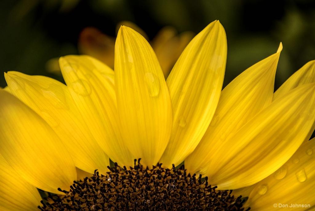 Partial Sunflower 8-26-17 057