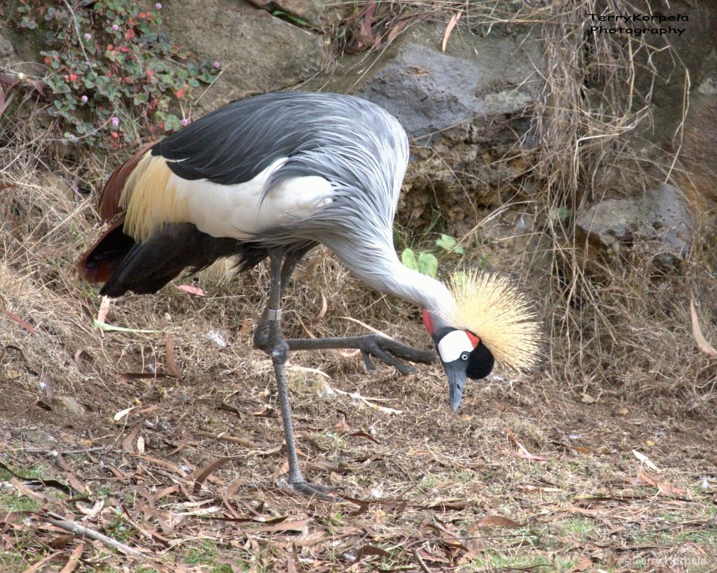 African Grey-crowned Crane