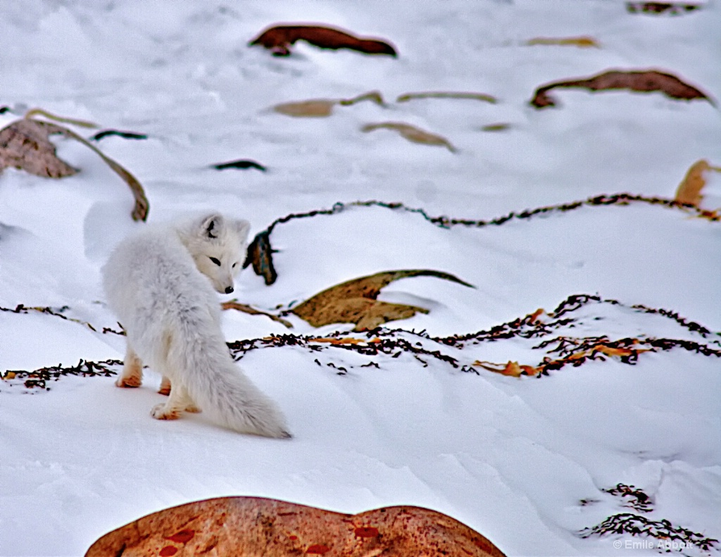 Shy Arctic Fox