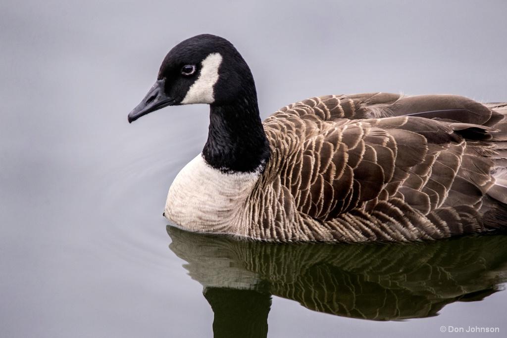 Canadian Goose at Rio 6-8-17 020