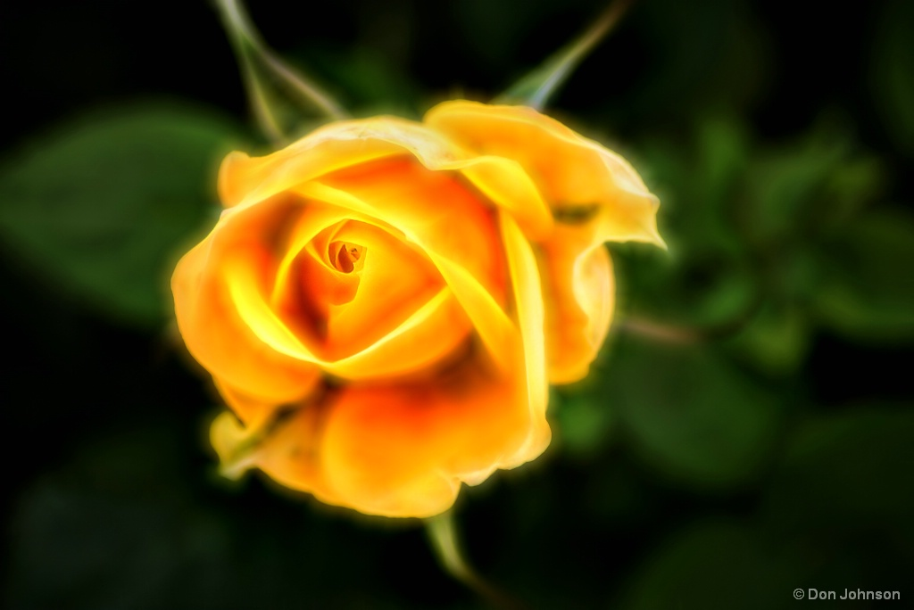 Miniature Yellow Rose-Glowing 2-5-16r17 176