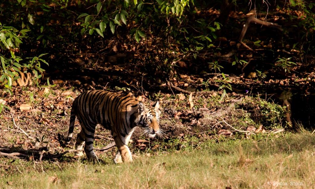 tigar stalking