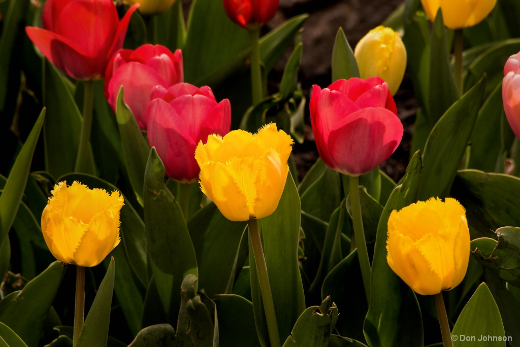 Colorful Tulips 4-22-17 064