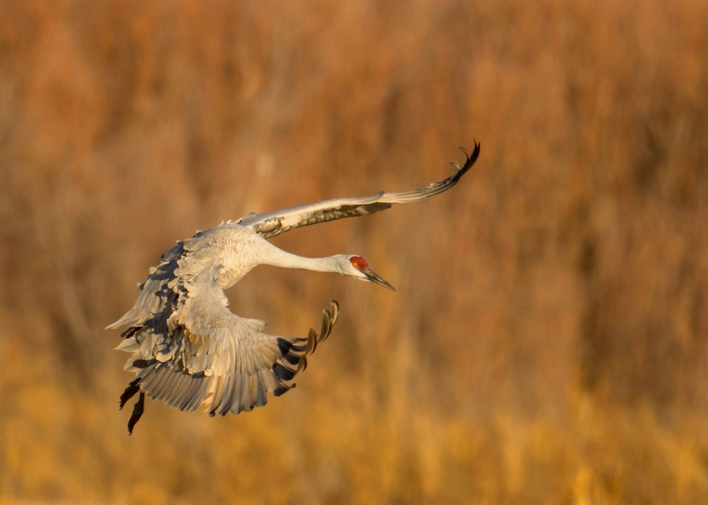 Sand Hill Crane Comin' in for a Landing