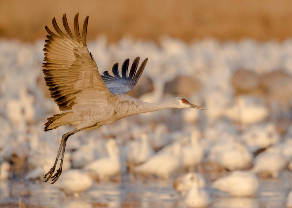 Sand Hill Crane Hangin with the Snow Geese