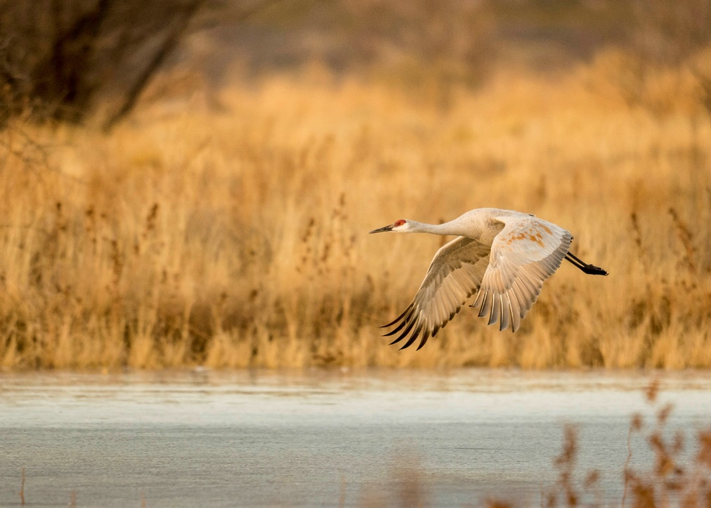 Sand Hill Crane Fly By