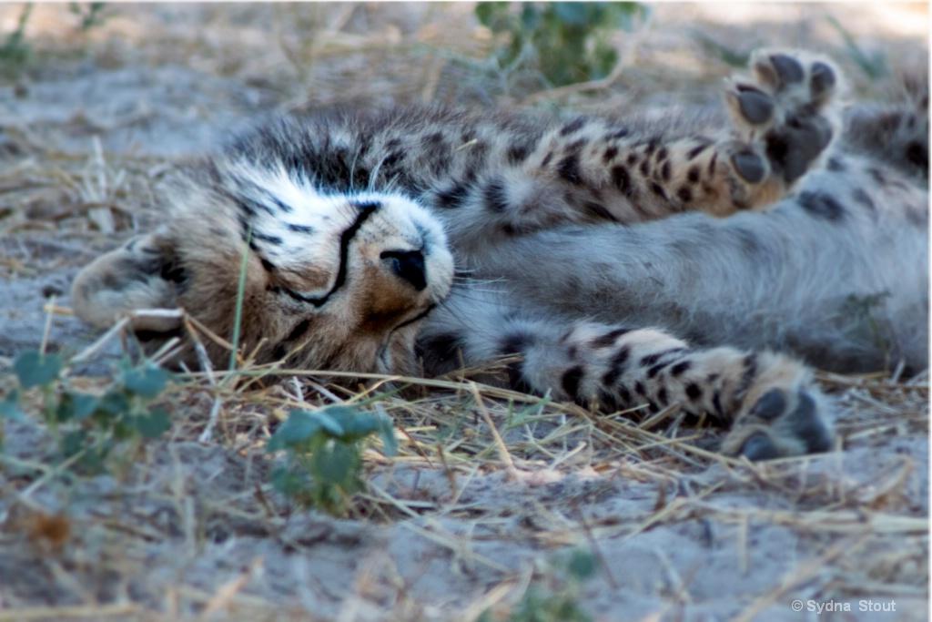 cheta cub napping